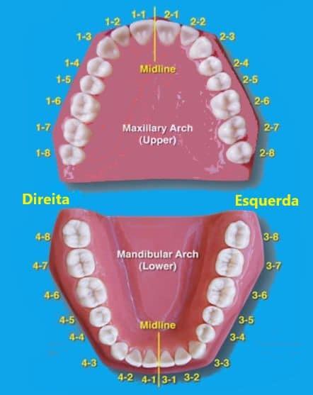 Favoritos Nome e numeração dos dentes, suas funções e curiosidades GM38